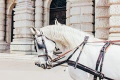 Les chevaux blancs se ferment  photo stock