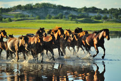 Les chevaux courants Photo stock