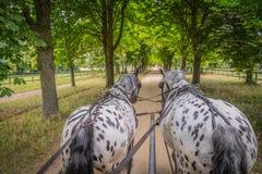 Les chevaux d'Apaloosa tirent un chariot image libre de droits