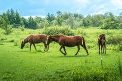 Les chevaux de Brown frôlent les herbes vertes sur le pâturage photo libre de droits