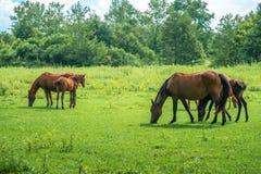 Les chevaux de Brown frôlent les herbes vertes sur le pâturage images stock