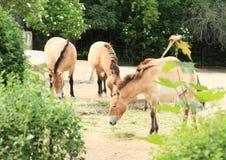 Les chevaux de Przewalski Photos stock