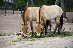 Les chevaux de Przewalski mangeant au zoo Photos libres de droits