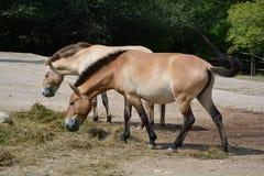 Les chevaux de Przewalski (przewalskii d'Equus) Photographie stock libre de droits