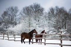 Les chevaux de selle regardant au-dessus du corral clôturent la scène rurale d'hiver photo libre de droits