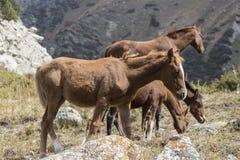 Les chevaux en montagne du Kirghizistan aménagent en parc au paysage de l'Aile du nez-voûte photo stock