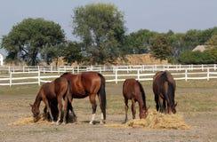 Les chevaux et les poulains mangent le foin photos libres de droits