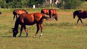 Les chevaux frôlant sur les pâturages verts du cheval cultivent, la partie de 8 banque de vidéos