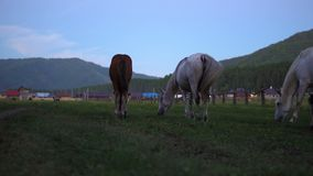 Les chevaux frôlent dans un pré près du village banque de vidéos
