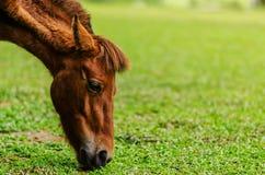 Les chevaux frôlent la ferme Photo stock