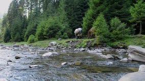 Les chevaux frôlent près d'une rivière de montagne banque de vidéos