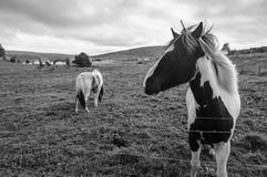Les chevaux islandais Photo libre de droits
