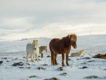 Les chevaux islandais se tiennent dans le domaine Image libre de droits