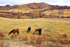 Les chevaux mangeant l'herbe sur la tache de paysage de Beigou Photo stock