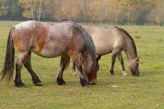 Les chevaux mangent l'herbe dans le pâturage photo libre de droits