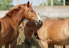 Les chevaux mangent le foin Photos stock