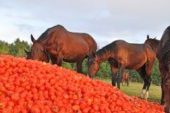 Les chevaux mangent une pile de tomate Photos libres de droits