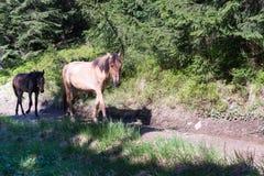 Les chevaux marchent librement sur le chemin forestier Photographie stock libre de droits