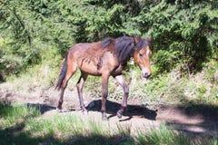 Les chevaux marchent librement sur le chemin forestier Image stock