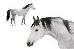 les chevaux ont isolé deux Images stock
