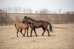 Les chevaux rouges et noirs se choient sur le champ Photos libres de droits