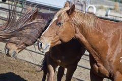 Les chevaux s'approchent de Jackson Hole, Wyoming Photographie stock