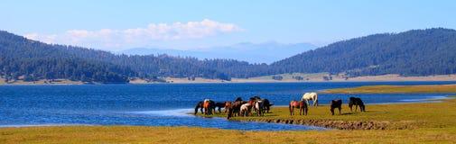 Les chevaux s'approchent du lac Images libres de droits
