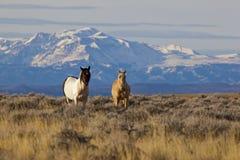 Les chevaux sauvages au Wyoming avec la neige ont recouvert des montagnes Images libres de droits