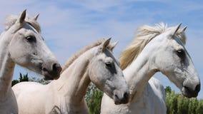 Les chevaux sauvages de Camargue s'approchent du Saintes-Maries-de-la-Mer Image libre de droits