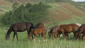 Les chevaux sauvages frôlent dans un pré clips vidéos