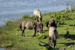 Les chevaux sauvages frôlent et mangent l'herbe dans le pré sur le lac, Lettonie photo libre de droits