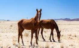 Les chevaux sauvages sauvages s'approchent de l'aus Photos libres de droits