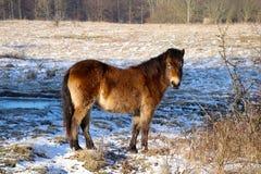 Les chevaux sauvages sont curieux Photographie stock