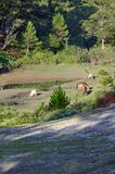 Les chevaux sauvages vivent dans la partie rose de steppes de pré photos stock