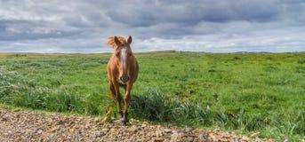 Les chevaux solitaires dans un pré de pâturage marche vers l'appareil-photo au bord de la route Photos stock