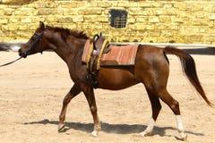 Les chevaux sont des animaux familiers Photos libres de droits