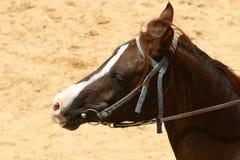 Les chevaux sont des animaux familiers Photos stock