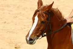Les chevaux sont des animaux familiers Photo libre de droits