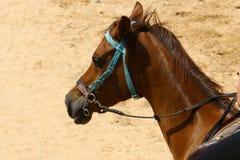 Les chevaux sont des animaux familiers Images libres de droits