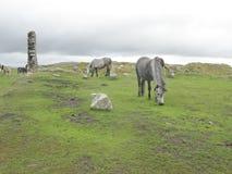 Les chevaux sur amarre de Dartmoor Photos libres de droits