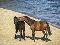 Les chevaux sur le lac Baïkal Photographie stock libre de droits