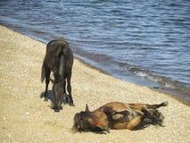 Les chevaux sur le lac Baïkal photographie stock