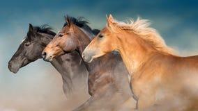 Les chevaux vivent en troupe le portrait dans le mouvement photographie stock