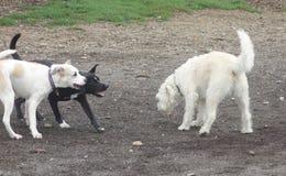 Les chiens étant mauvais, jouer, drôle, rit l'amusement image stock