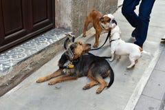 Les chiens attendent leur marcheur de chien Photographie stock libre de droits
