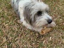 Les chiens blancs hirsute de fourrure prend un grand os et joue avec le propri?taire photo libre de droits