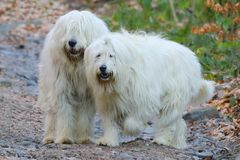Les chiens blancs regardent en avant Regards fixes de chiens Photos libres de droits