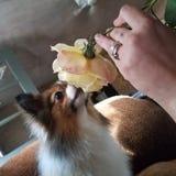 Les chiens d'Evan doivent sentir les roses parfois photo stock