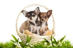 Les chiens dans le panier d'isolement sur le fond blanc jaillissent Photographie stock libre de droits