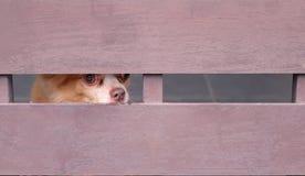 Les chiens de Brown regardent par les lattes en bois images stock